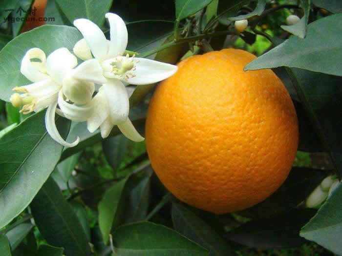 """奉节脐橙""""花果同树"""""""