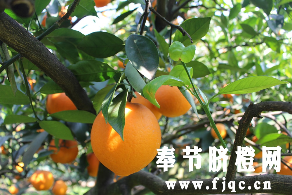 脐橙嫁接育苗栽培技术
